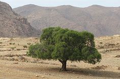 Az argánolaj (ICNI: ARGANIA SPINOSA OIL) #arganolaj@petraingreen