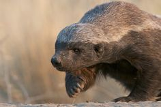 Image result for honey badger running