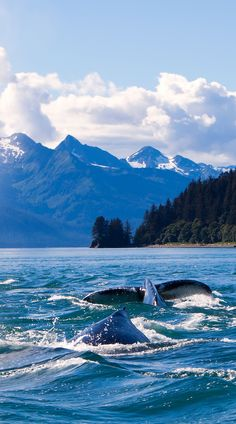 Humpback Whales in Alaska. Living for years and years it's great to see familiar tails coming back every summer. It's like seeing a long lost friend and feeling relief that they've survived yet another season.