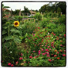 Community garden - zinnias & sunflower