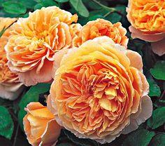Rose 'Princess Margareta'. 4-6' bush.