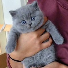 37 Ideas For Cats British Shorthair Grey Kitty Cute Cats And Kittens, I Love Cats, Kittens Cutest, Kitty Cats, Black Kittens, Fluffy Kittens, Fluffy Cat, Beautiful Cats, Animals Beautiful