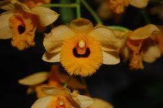 Dendrobium fimbriatum var. oculatum