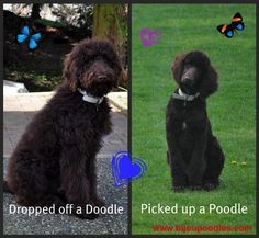 Grooming Your Poodle