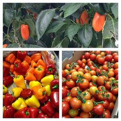 Windset Farms. Nothing like fresh peppers and tomatoes to celebrate BC Ag Day