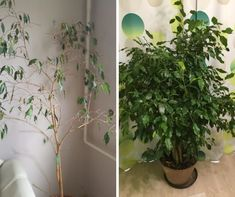 Ficus, Plants, Gardening, Decor, Decoration, Lawn And Garden, Fig, Dekoration, Plant