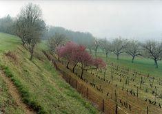 Landschaft mit blühenden Pfirsichbäumen, Montignac-Lascaux, Dordogne (2009)