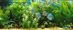 The Planted Discus Aquarium