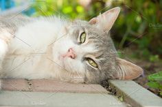 Lazy cat Photos Grey and white domestic cat by TalyaPhoto