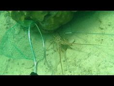 Key West Lobster Dive - http://www.florida-scubadiving.com/florida-scuba-diving/key-west-lobster-dive/