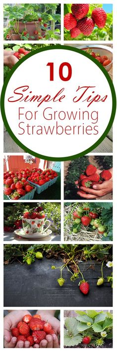 10 Simple Tips for Growing Strawberries Growing strawberries, fruit gardening, strawberries, popular Veg Garden, Fruit Garden, Edible Garden, Lawn And Garden, Garden Plants, Vegetable Gardening, Strawberry Garden, Strawberry Plants, Grow Strawberries