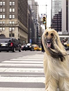 Mini Fashionista (love her) - and just send me that Afghan Hound. Pet Friendly Hotels, Fashion Wallpaper, Afghan Hound, Little Fashionista, Hound Dog, Happy Dogs, Beautiful Dogs, How To Take Photos, Dog Friends