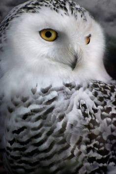 love snow owls