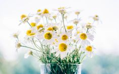 Morning Images have such a power to brighten our day when we stumble upon them! This collection features good morning quotes, all on pics of beautiful flowers. Chamomile Growing, Chamomile Tea, Flower Images, Flower Pictures, Mademoiselle Bio, Lotion Tonique, Growing Herbs, Good Morning Images, Morning Pics
