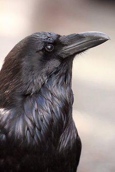 The raven is a big black bird, a member of the crow family. It is massive, bigger than a buzzard. It is all black with a large bill, and long wings. Raven And Wolf, Quoth The Raven, Raven Bird, Pet Raven, Raven Wings, Crow Art, Bird Art, Beautiful Creatures, Beautiful Birds