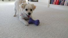 """Hey Hoomun it's playtime!""   http://ift.tt/2hNWmb3 via /r/dogpictures http://ift.tt/2i8ZbCr  #lovabledogsaroundtheworld"