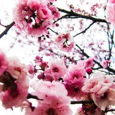 I wish cherry blossums bloomed all year long....