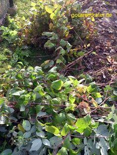 Rückschnitt der Herbst-Himbeere