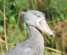 Four birds you'll see nowhere else - from the new issue of the Zambezi Traveller, available online - http://www.zambezitraveller.com/livingstone/birding/four-birds-you'll-see-nowhere-else (Shoebill: Image credit RORY McDOUGALL)
