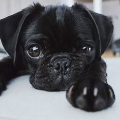 "Explore our web site for additional details on ""Black pugs"". It is actually a superb spot to find out more. Corgi Puppies, Husky Corgi, Black Pug Puppies, Cute Dogs And Puppies, Baby Puppies, Pet Dogs, Pets, Baby Black Pug, Terrier Puppies"
