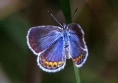 Kramer Blue Butterfly (endangered)