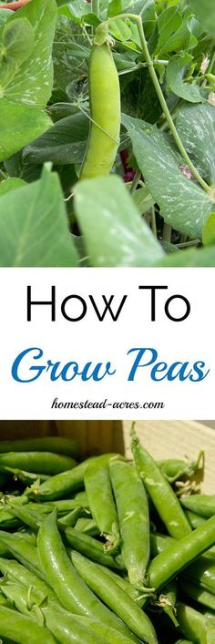 How To Grow Peas. How to easily grow peas in your garden from planting to harvest. www.homestead-acres.com #vegetablegardening