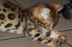 Baby kittens for Free | Exotic Bengal cats and Gold Bengal Kittens For Sale, Photos of Bengal ...