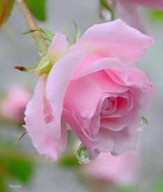 Choosing The Best Pink Flowers for Your Lovely Garden Beautiful Rose Flowers, Love Rose, Flowers Nature, My Flower, Beautiful Gardens, Beautiful Flowers, Purple Roses, Pink Flowers, Rose Pictures