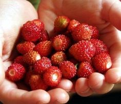 """'Fraise' Everbearing Alpine Strawberry - 4"""" Pot - $4.99 Alpine Strawberries, Strawberry Pots, Planting Bulbs, Fruits And Vegetables, Seeds, Allotment, Plants, Gardening, Fruits And Veggies"""