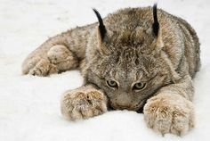 Paw star, the Canadian lynx. Impawsibly cute. | Community Post: The 20 Cutest Pictures Of Cat's Paws