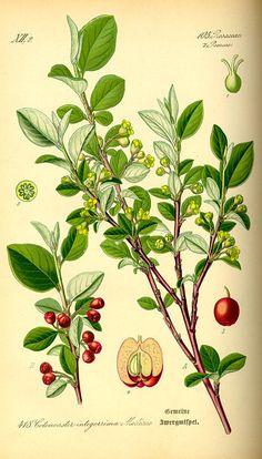 Flora von Deutschland Österreich und der Schweiz (1885) - Cotoneaster integerrimus