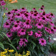 Hardy Perennials, Flowers Perennials, Planting Flowers, Flowering Plants, Butterfly Flowers, Pink Flowers, Phlox Plant, Pots, Border Plants