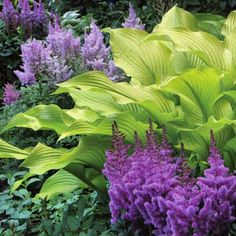 A striking planting combination with the chartreuse of the hosta (sun power) and purple astilbes. These both like light shade and preferably morning sun. Just remember to keep the slugs away with organic slug pellets, copper rings or even coffee grinds will work for the hostas which are a delicious green buffet for the molluscs otherwise. Colleen Plimpton #plantinginspiration #plantingcombinations #plantingcompanions #plantingideas #gardeninspiration #gardensofinstagram #plantingdesign…