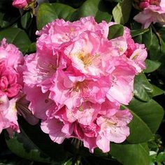 Dexter hybrid. Vigorous, wide growing with extra thick stems. Large trusses of luminous pink flowers, each with a yellowish flare in late May. Large, lustrous deep green foliage. Best when planted …