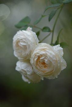 myu-myu 'Rose Marie' in the rain バラ イングリッシュローズ ローズマリ English Rose 'Rose Marie' Love Rose, My Flower, Pretty Flowers, Beautiful Roses, Beautiful Gardens, Simply Beautiful, Romantic Roses, Beautiful Things, White Roses