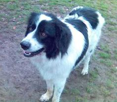 Colorado Great Pyrenees Rescue Community: Great Pyrenees Mixed Dogs: What to Expect Anatolian Shepherd, Border Collie Mix, Great Pyrenees, Australian Shepherd, Colorado, Yahoo Images, Cute Cats, Dog Cat, Community