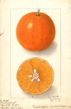 Ellen Isham Schutt, Citrus sinensis, Washington Navel, 1914. Watercolor. National Agricultural Library, Pomological Watercolor Collection.