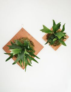 Mounted Staghorn Fern Plaque - Group - Pistils Nursery