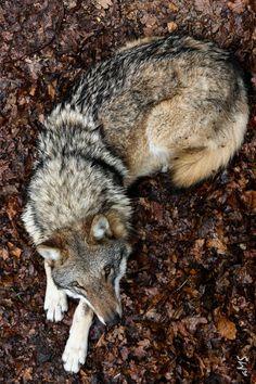 foreverthel0newolf: Wolf by Michael Schütze