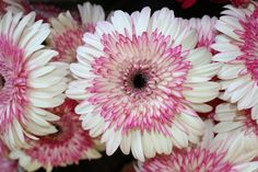 Two Tone Pink/White Gerbera