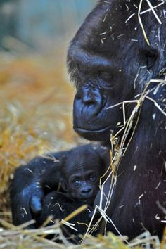A critically endangered Western Lowland Gorilla was born to mom Mumbe and dad Djala at Port Lympne Wild Animal Park during the early hours of February 26. This is the latest addition to the family group at the park. At this early stage it is too young for keepers to determine the sex.