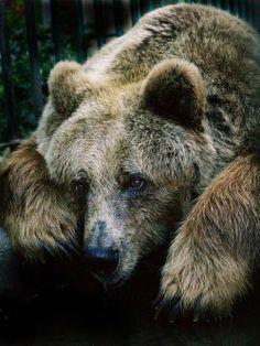 Sad looking Bear