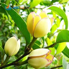 Introducing 10 Pcs  Pack Aromatic Michelia Alba Flower Seed Magnolia Bonsai Plant Seed. Great Product and follow us to get more updates!