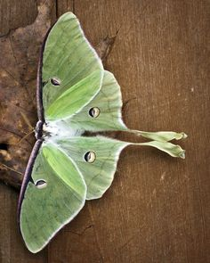 Luna moth, no I didn't find this either (not geting many moths anymore at my black light )