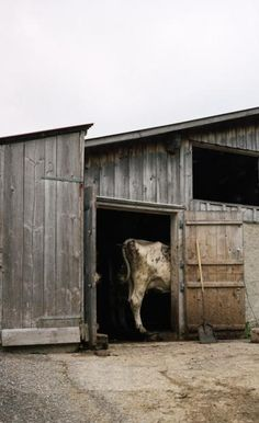 """""""Well Butter My Butt And Call Me Biscuit It's A Cow Barn""""...LOL"""
