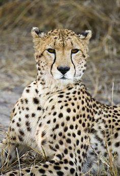 Cheetah, Mombo Camp, Botswana By: Chuck Babbitt