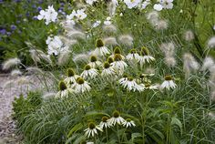 echinacea white swan with fountain grass and sonata cosmos