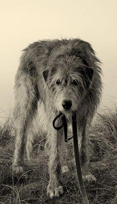 <3 Irish Wolfhound!