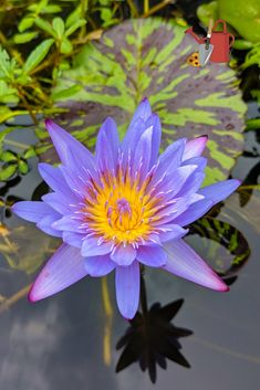 Nymphaea 'Leopardess' - Tropical water lily. Stunning! Can be overwintered in a basement or garage.
