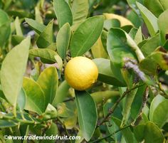 Key lime, Mexican Lime, West Indian Lime, (Citrus aurantifolia), Native to southeast Asia.